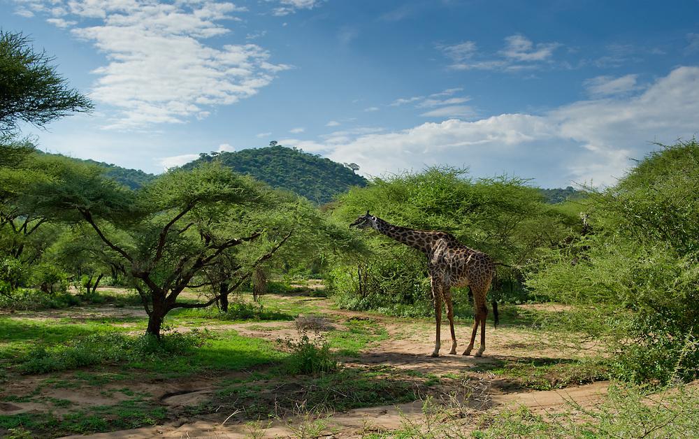 Landscape with giraffe