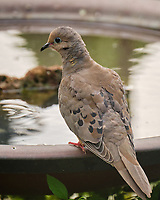 Mourning Dove. Image taken with a Fuji X-T4 camera and 100-400 mm OIS lens.
