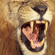 African Lion, (Panthera leo) Portrait of mature male flehmening to catch estrus scent of female. Kenya. Africa.
