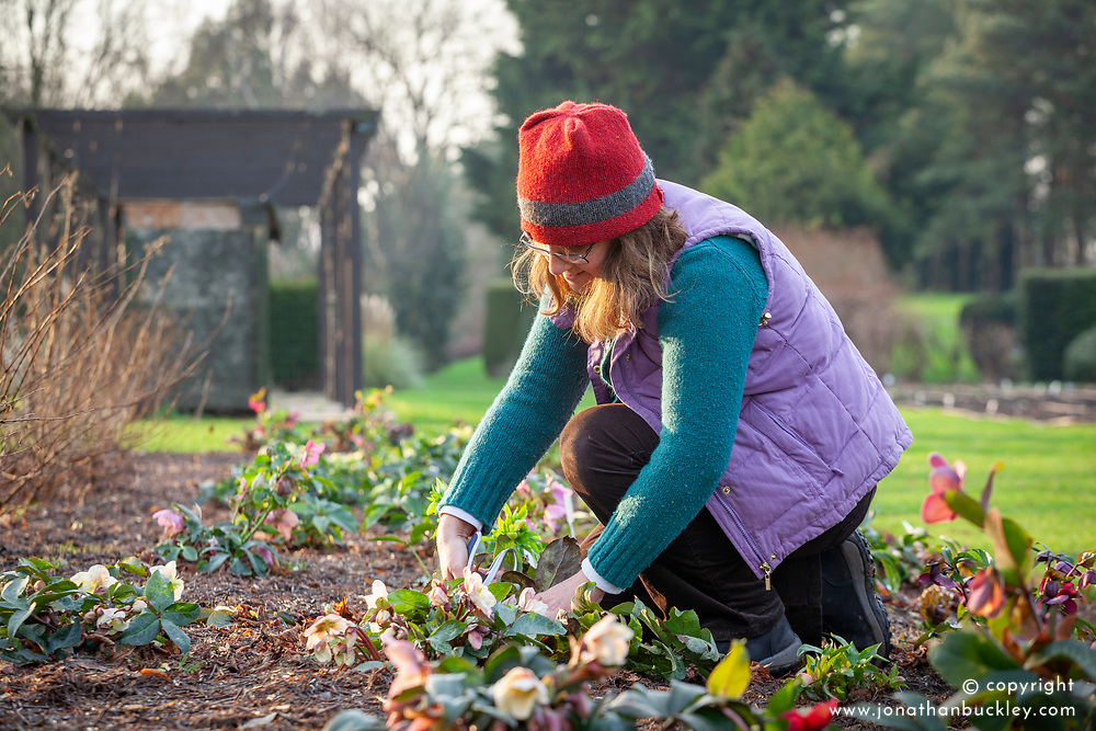 Cutting back hellebore foliage in late winter or early spring to show off flowers