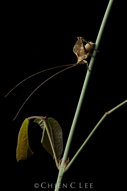 Leaf-mimic katydid (Typophyllum sp.), male. Yasuní National Park, Ecuador.