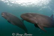 false killer whales ( Pseudorca crassidens ) (c,dm)