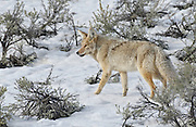 Coyote walks in snow, Yellowstone