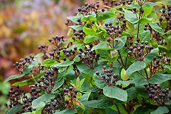The berries of St John's Wort - Hypericum