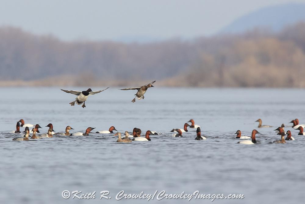 Canvasback ducks landing on a shallow lake.