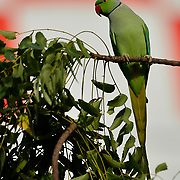 CAMP LEMONNIER, Djibouti -- 7/25/21 --  A ring-necked parakeet sits on a branch outside Building 300, the Combined Joint Task Force Horn of Africa Headquarters at Camp Lemonnier. The camp's water tower fills the  background. <br /> Ringneck parakeets (Psittacula krameri) live in tropical areas ranging from west Africa to India and south of the Himalayas. (U.S. Navy Photo by Chief Mass Communication Specialist Roger S. Duncan)