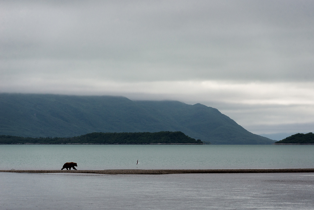 Bear 410, the oldest known bear at Katmai National Park at 29 years old, crosses a spit of land by Naknek Lake, June 13, 2018.