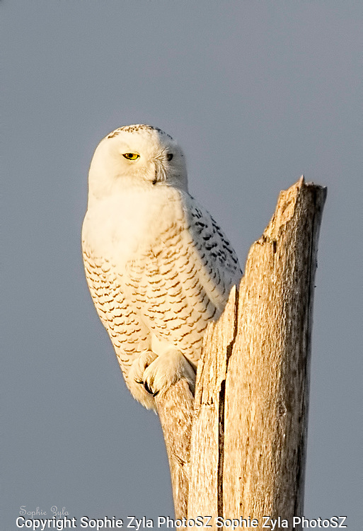 Snowy Owl Eye Contact