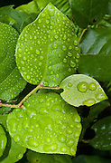Reflective water drops cling to bright green leaves. Salal (Gaultheria shallon) is a leathery-leaved shrub in the heather family (Ericaceae), native to western North America. Photo from Tiger Mountain Trail, Interstate 90, Washington, USA.