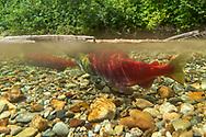 Sockeye Salmon<br /> <br /> Fernando Lessa/Engbretson Underwater Photography