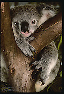 Orphaned 9-month-old koala rests chin in fork of tree in his cage @ Eprapah rehab cntr;(v)Brisbane Australia