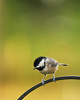 Black-capped Chickadee. Image taken with a Fuji X-T4 camera and 100-400 mm OIS lens.