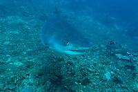 Tiger Shark Approaching