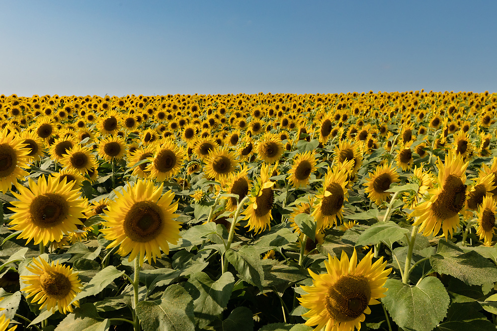 A vibrant field of sunflowers at Colby Farm in Newbury, MA.