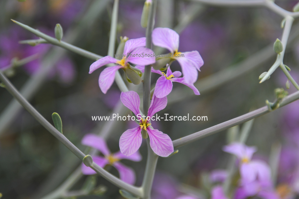 After a rare rainy season in the Negev Desert and Israel in general, an abundance of wildflowers sprout out and bloom. blooming pink wildflowers Photographed Makhtesh Ramon (Ramon crater), Negev, Israel in March