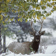 Elk (Cervus canadensis).  A young bull stripping leaves from a small bush above snow in Wyoming.
