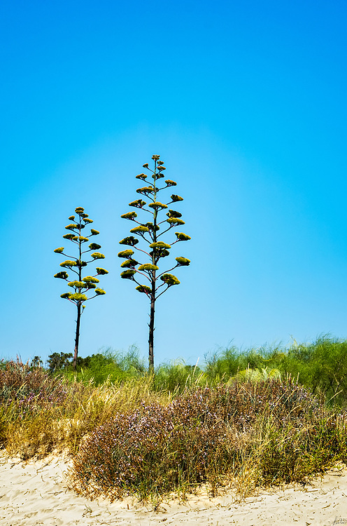 A pair of Century Plants Blooming against a bright blue sky.