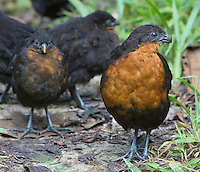 Dark-backed Wood-Quail, Odontophorus melanonotus, Refugio Paz de las Aves, Ecuador