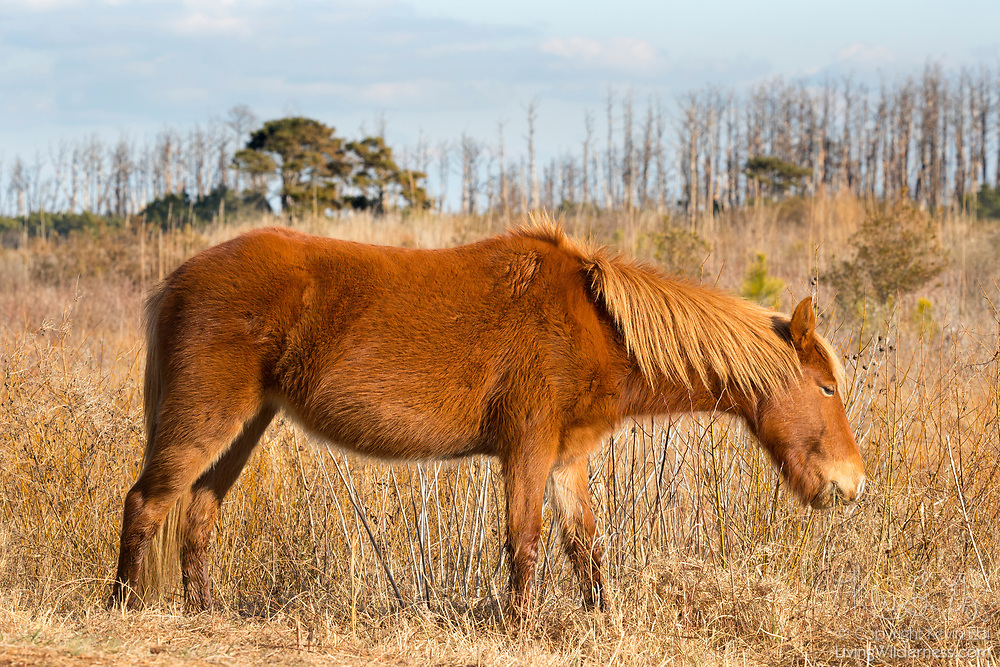 A Chincoteague pony (Equus caballus), also known as an Assateague horse, grazes in a marsh on Assateague Island in the Chincoteague National Wildlife Refuge in Virginia. Chincoteague ponies are small — typically 12-13 hands (about 4 feet tall) — their growth stunted by the limited food and harsh environment of Assateague Island. About 300 wild — technically feral — ponies roam the island on the Atlantic coast. There is some dispute as to how the ponies ended up on the island. Some researchers believe the ponies are survivors of the wreck of a Spanish galleon, La Galga, which sank just off the coast in 1750; the U.S. Fish and Wildlife Service believes they are descendants of horses owned by early colonial settlers.