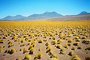 Desierto de Atacama / paja brava / Chile.<br /> <br /> Edición de 3   Víctor Santamaría.