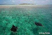 manta rays, Manta alfredi (formerly Manta birostris ), feeding on plankton, with Hanifaru Island in background, Hanifaru Lagoon, Baa Atoll, Maldives ( Indian Ocean )