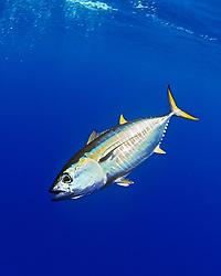 yellowfin tuna, Thunnus albacares, juvenile, Kona Coast, Big Island, Hawaii, USA, Pacific Ocean