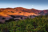 Alma Rosa Winery vineyards in Buellton, California.