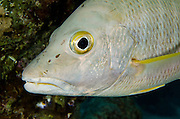 Dog Snapper (Lutjanus jocu)<br /> BONAIRE, Netherlands Antilles, Caribbean<br /> HABITAT & DISTRIBUTION: Mid-range reefs, wrecks and rocky inshore areas.<br /> Florida, Bahamas, Caribbean, Gulf of Mexico, north to Massechusetts & south to Brazil.