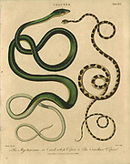 Coluber whip viper snake Handcolored copperplate engraving From the Encyclopaedia Londinensis or, Universal dictionary of arts, sciences, and literature; Volume IV;  Edited by Wilkes, John. Published in London in 1810