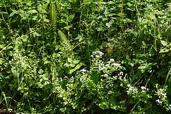 Reuzenpaardenstaart, Equisetum telmateia