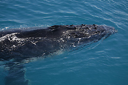 A humpback whale calf surfaces near a charter boat.
