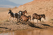 A wild paint stallion chasing younger mares and stallions into a water hole in Wyoming's badlands.