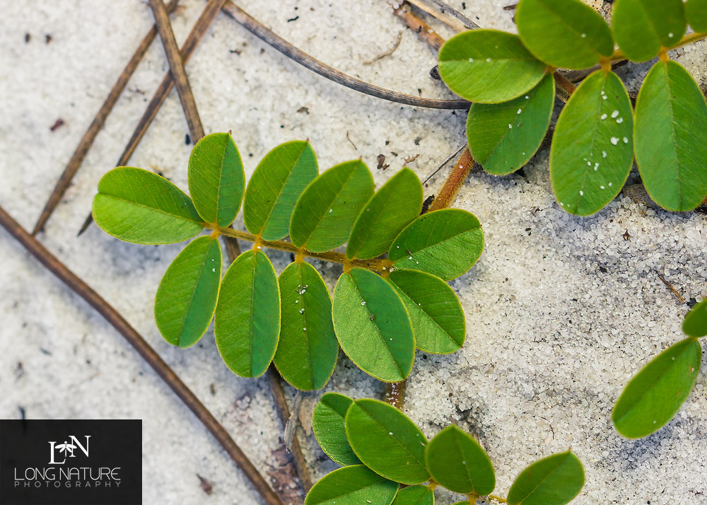 Tephrosia mysteriosa, photographed at Archbold biological Station, Florida USA