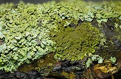 Rond schaduwmos, Phaeophyscia orbicularis