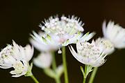 Soft white flowers, species unknown, possibly Allium, Zarnesti Gorges, Romania