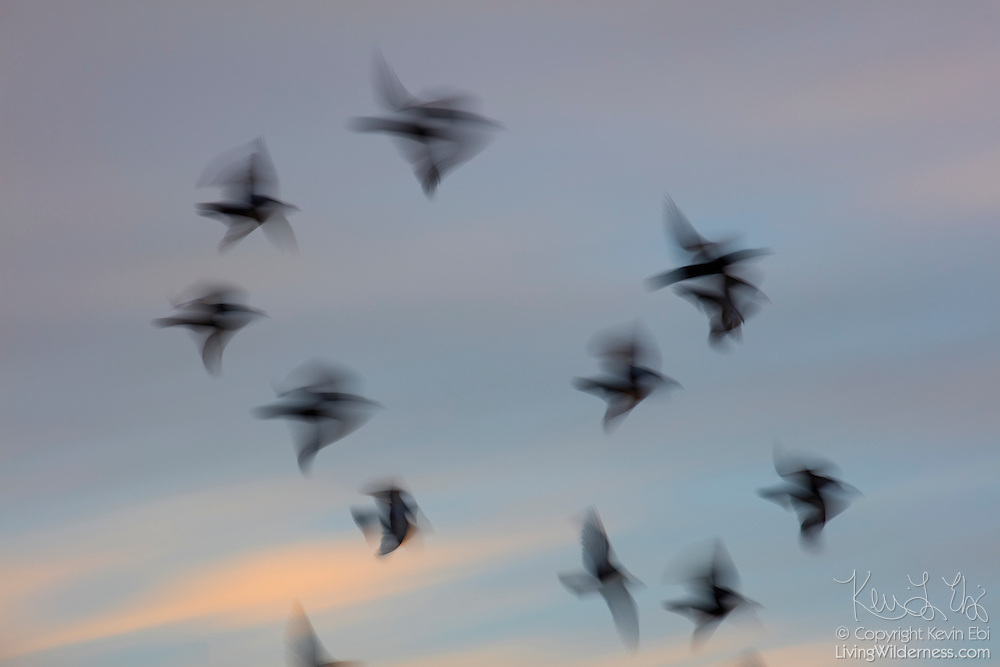 A long exposure captures the motion of a flock of pigeons flying at sunrise over Venice Beach, Venice, California.