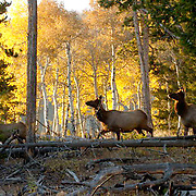 Elk(Cervus canadensis) Bull in rut. Fall. Yellowstone National Park.