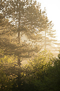 Pine tree on forest on sunny day, Restonic Valley, Corte, Corsica, France