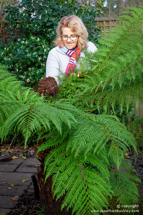 Protecting a tree fern over winter. Covering the crown with straw or hay