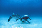Atlantic spotted dolphins, Stenella frontalis, jousting for dominance, Little Bahama Bank, Bahamas ( Western Atlantic Ocean )