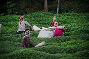 Turkish Tea Plantation on the Black sea coast of Turkey near Rize