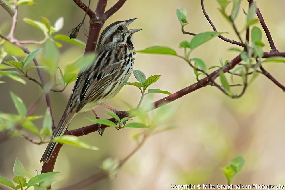Song sparrow (Melospiza melodia) in dogwood<br /> Hillside Beach<br /> Manitoba<br /> Canada