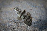 Amblygobius phalaena (Calico Goby)