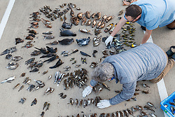 Volunteers inventorying birds collected as part of Lights Out Texas campaign, Dallas, Texas, USA. Lights Out is a project of the Cornell Lab of Ornithology to issue BirdCase alerts for heavy bird migrations to assist local buildings turn off their lights to avoid building strikes.