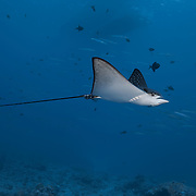 A baby eagle ray at the world-famous Blue Corner dive site in Palau, with barracuda, redtooth triggerfish and dive boats visible in the background. The Palauan word for eagle ray and the Audobon shearwater bird are the same. Both eagle rays and shearwaters are considered gods in Palau culture.
