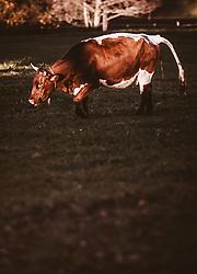 THEMENBILD - ein Kuh auf einer Weide bei Sonnenuntergang an einem sonnigen Herbsttag, aufgenommen am 10. November 2018, Saalfelden am Steinernen Meer, Österreich // a cow in a pasture at sunset on a sunny autumn day on 2018/11/10, Saalfelden am Steinernen Meer, Austria. EXPA Pictures © 2018, PhotoCredit: EXPA/ JFK