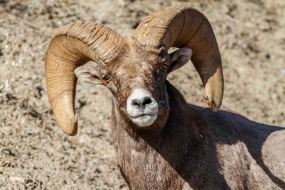 Male (Ram) Bighorn Sheep in Hells Canyon on the Oregon side of the state border with Idaho in the fall season. Licensing - Open Edition Prints