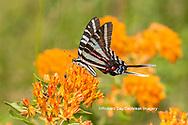 03006-00604 Zebra Swallowtail (Protographium marcellus) on Butterfly Milkweed (Asclepias tuberosa) Marion Co. IL