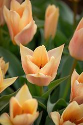 Tulipa 'Fur Elise'