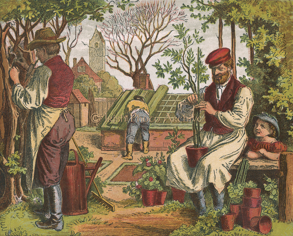 Gardening. In the foreground gardeners are pruning, left, and staking a potted plant, right.  In  the background a third man is adjusting the cover of a cold frame. The cover had a dual purpose as it could be used to exclude light when a crop was being blanched, or to act as insulation in cold weather.  Illustration by Oscar Pletsch (1830-1888)   German illustrator, particularly of children's books. (1871). Chromolithograph.